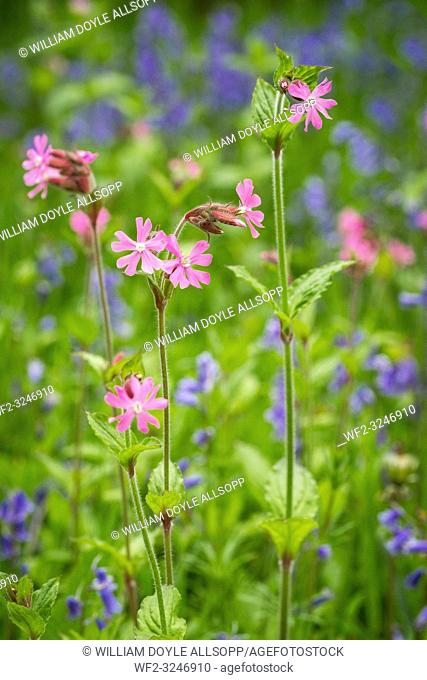 Red Campion amongst native British bluebells flowering in woodland