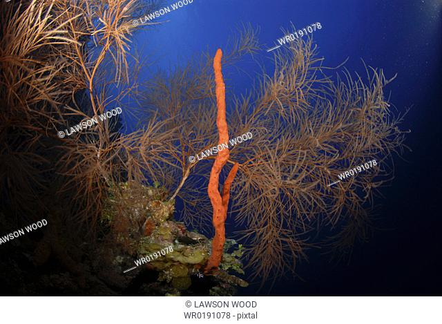 Red rope sponge and precious black coral tree, Little Cayman Island, Cayman Islands, Caribbean