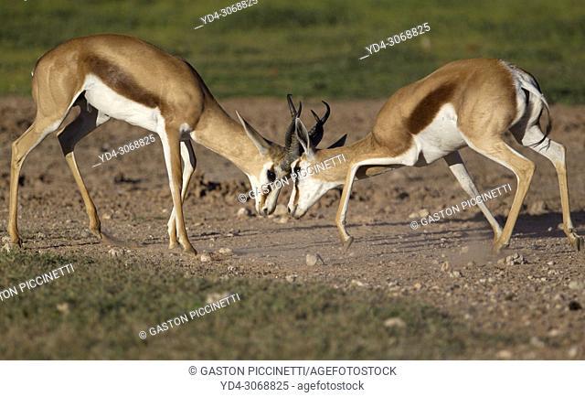 Springbok (Antidorcas marsupialis), fighting, Kgalagadi Transfrontier Park in rainy season, Kalahari Desert, South Africa/Botswana