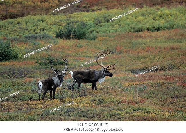 Barren Ground Caribou, bulls, Reindeer, Rangifer tarandus, Rangifer tarandus arcticus