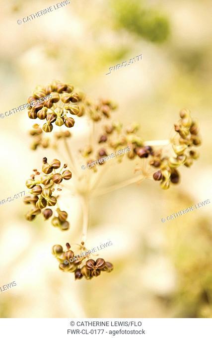 Perfoliate Alexanders, Smyrnium perfoliatum