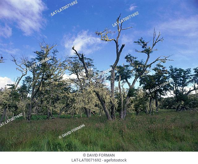 Lenga trees draped with lichen. Grass
