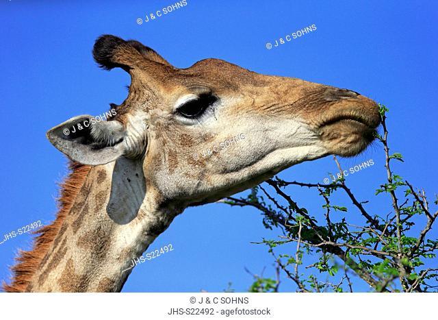 Cape Giraffe, (Giraffa camelopardalis giraffa), adult feeding, portrait, alert, Hluhluwe Umfolozi Nationalpark, Hluhluwe iMfolozi Nationalpark, KwaZulu Natal