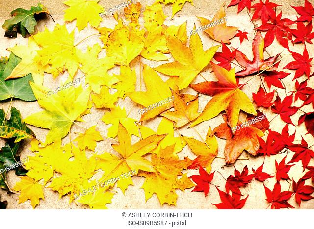 Green, yellow and red maple leaves on white surface, overhead view