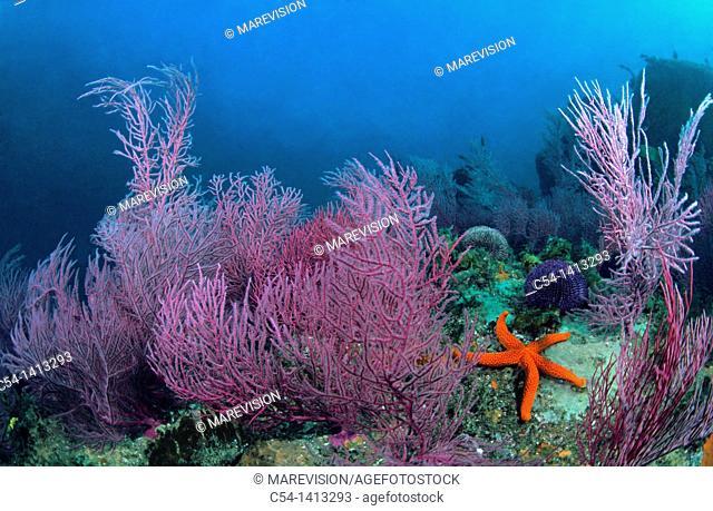 Red sea fan (Leptogorgia sarmentosa), underwater landscape, Eastern Atlantic, Galicia, Spain
