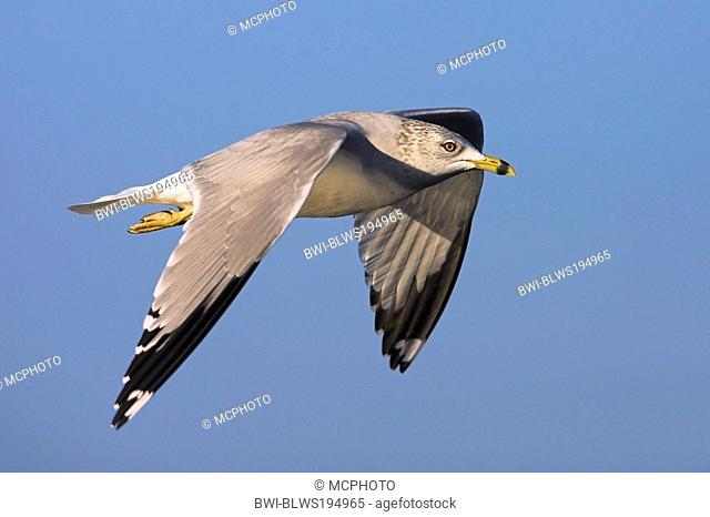 ring-billed gull Larus delawarensis, flys, USA, Florida