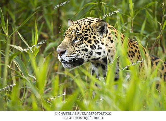 Adult Jaguar (Panthera onca) hiding in tall vegetation, Pantanal, Mato Grosso, Brazil