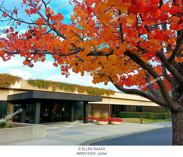 Brilliant autumn foliage on a tree outside the building entrance to Palo Alto Research Center, a technology research company in California known for having...