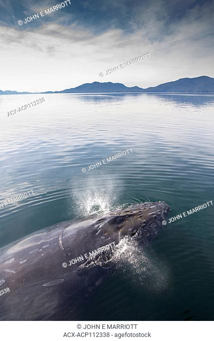 Humpback whale, Megaptera novaeangliae, British Columbia coast, Canada