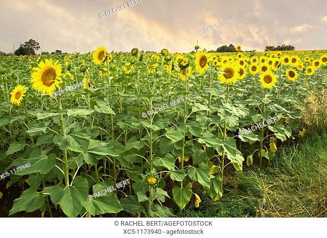 Sunflowers, Colle Val d'Elsa landscape, Siena, Tuscany, italy