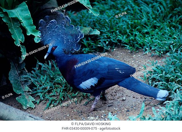 Victoria Crowned Pigeon Goura victoria On ground beside green plants