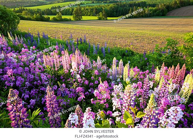 Lupins and phlox flowers, Clinton, Prince Edward Island