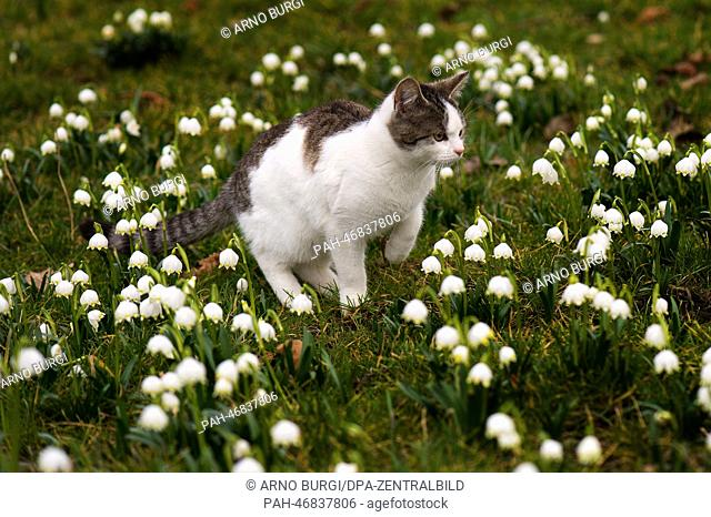 A young cat sits in a meadow with Spring Snowflakes (Leucojum vernum) in Langenwolmsdorf, Germany, 04 March 2014. Photo:ARNO BURGI/DPA | usage worldwide