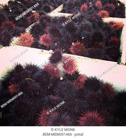 Basket of sea urchins at seafood market