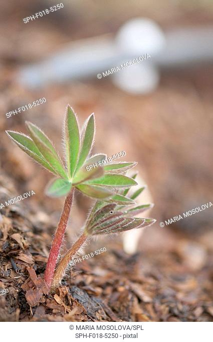 Young lupin (Lupinus sp.) plant