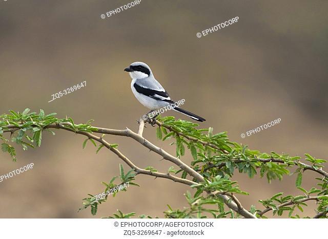 Southern Grey Shrike, Lanius excubitor, Saswad, Pune, Maharashtra, India