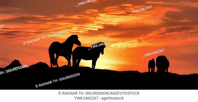 Silhouette of Icelandic horses at sunset, Iceland