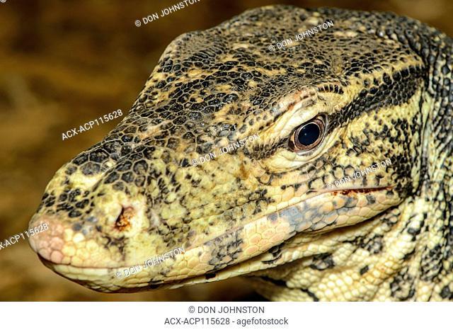 Asian water monitor (Varanus salvator) Captive. Native to South Southeast Asia, Reptilia reptile zoo, Vaughan, Ontario, Canada