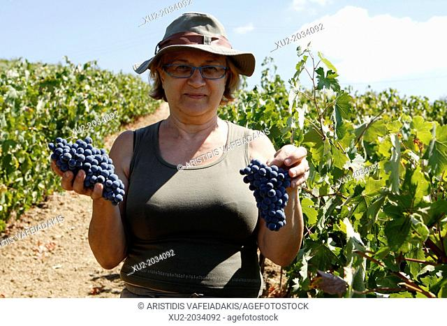 Agiorgitiko, is one of the finest Greek red varieties, it has been grown for many years in the wider area of Nemea. The area of Nemea