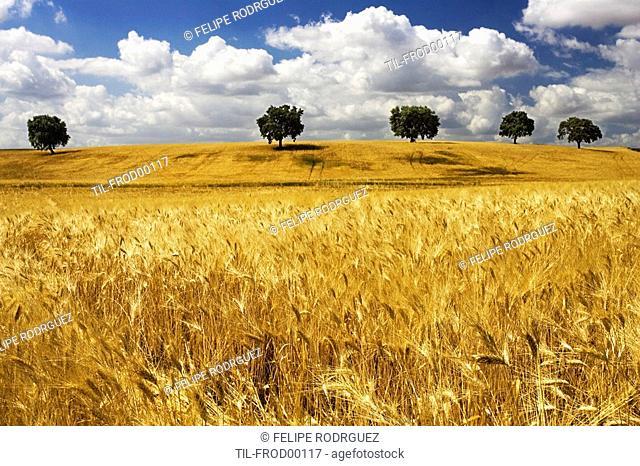 Andalusian wheat fields