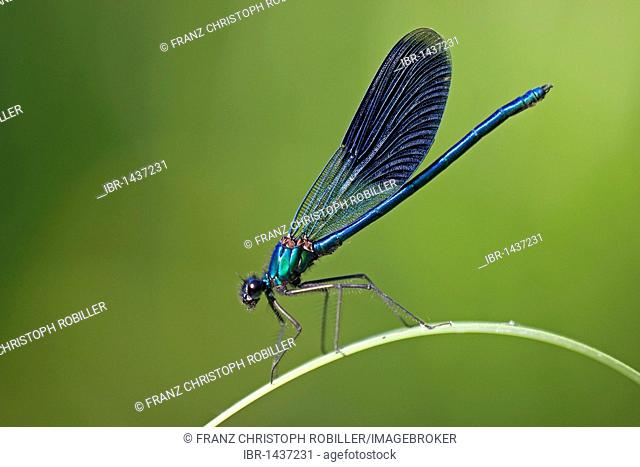 Banded demoiselle (Calopteryx splendens), male, Ferto-Hanság National Park, Hungary, Europe
