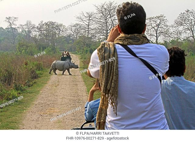 Indian Rhinoceros (Rhinoceros unicornis) adult, crossing road, being photographed by tourists in vehicles, Kaziranga N.P., Assam, India, March