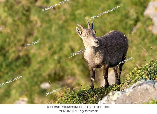 Alpine Ibex (Capra ibex), female standing on slope, Niederhorn, Bernese Oberland, Switzerland