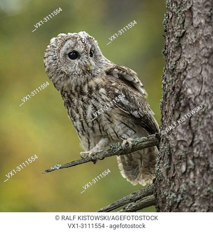 Tawny Owl / Waldkauz ( Strix aluco ) perched on a dry branch of a tree, bright eyes, watching curious, attentively, autumnal background, golden October, Europe