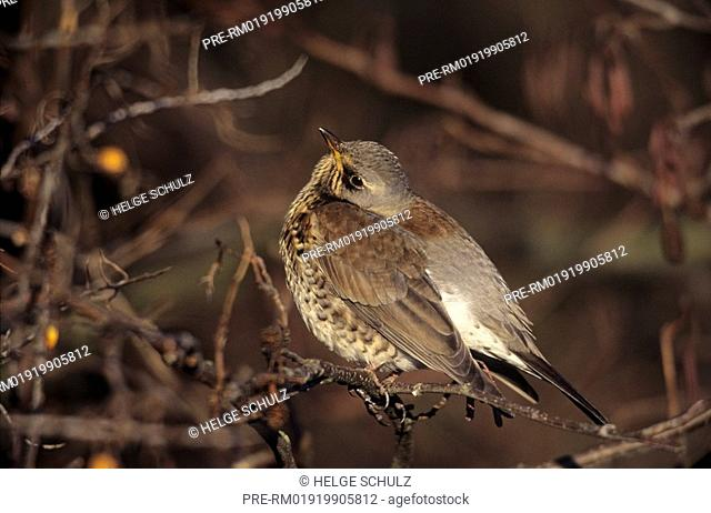 Fieldfare & Sea Buckthorn , Turdus pilaris & Hippophae rhamnoides