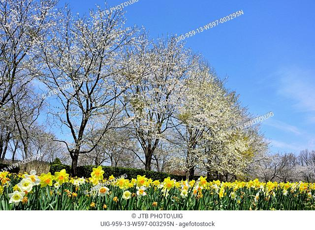 Japan, Tohoku Region, Miyagi Prefecture, Shibata, Kawasaki, Cherry trees and daffodil flowers at Michinoku Forest