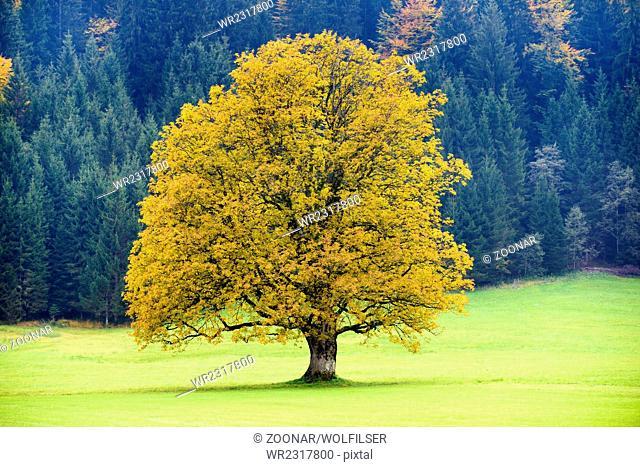 big old maple tree at autumn
