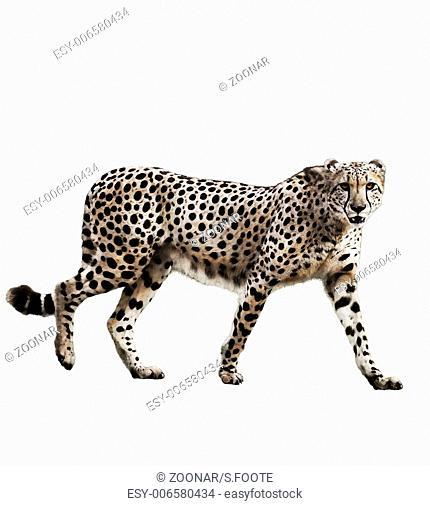 Watercolor Image Of Cheetah