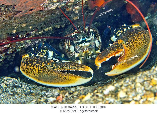 European Lobster, Common Lobster, Homarus gammarus, Bogavante, Cabo Cope-Puntas del Calnegre Natural Park, Mediterranean Sea, Region de Murcia, Murcia, Spain
