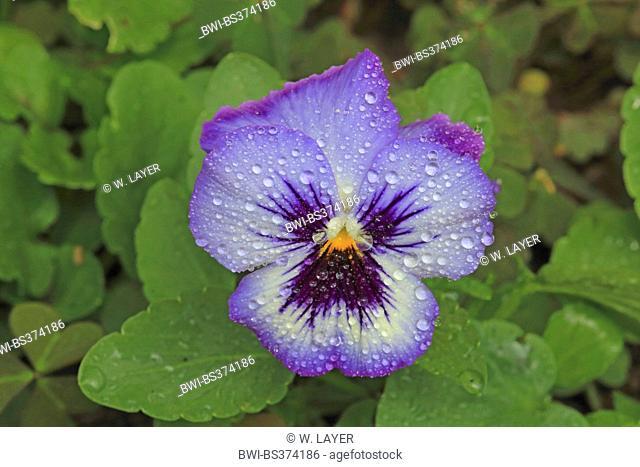 Pansy, Pansy Violet (Viola x wittrockiana, Viola wittrockiana, Viola hybrida), flower with raindrops