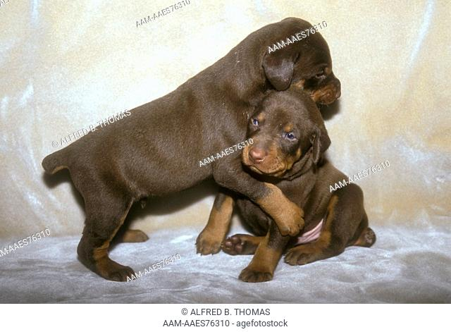 Doberman Pinscher Puppy (Canis familiaris) Bergenfield, NJ