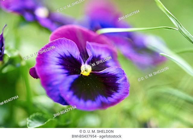 Pansy, Pansy Violet (Viola x wittrockiana, Viola wittrockiana, Viola hybrida), lilac flower