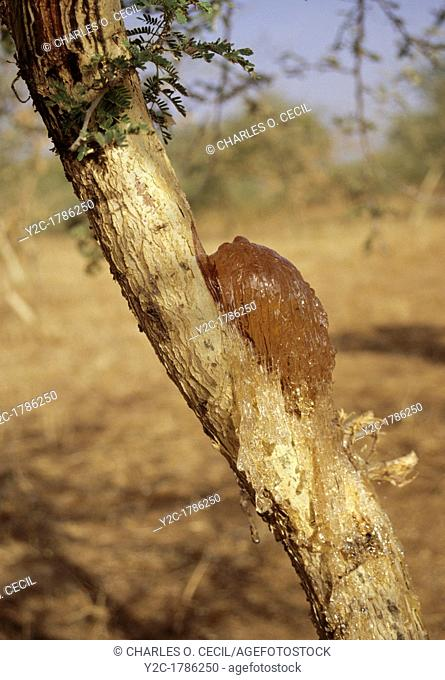 Gum Arabic on tree branch, waiting to be collected  Niger, West Africa