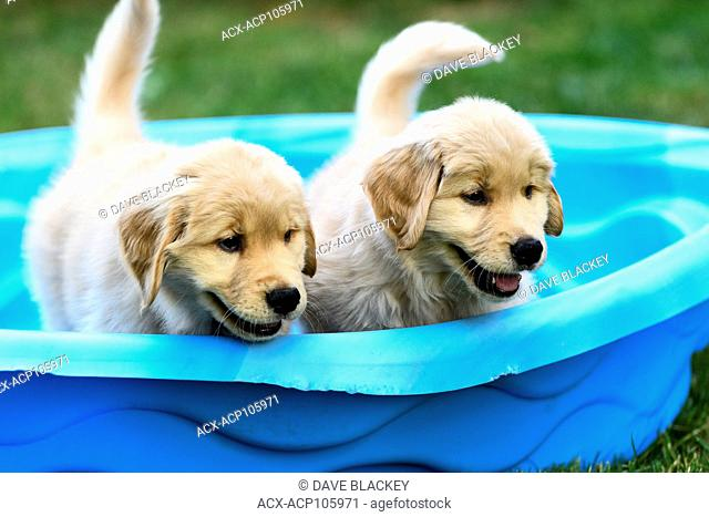 Two 8 week old Golden Retriever puppies playing in a small pool