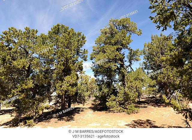 Colorado pinyon or pinyon pine (Pinus edulis) is a coniferous tree native to central-western USA. This photo was taken in Grand Canyon National Park, Arizona