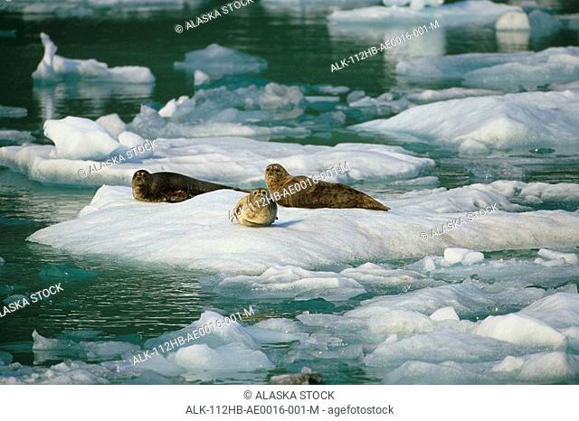 Harbor Seals on ice floe Tracy Arm Fords-Terror Wilderness Area Southeast Alaska Summer