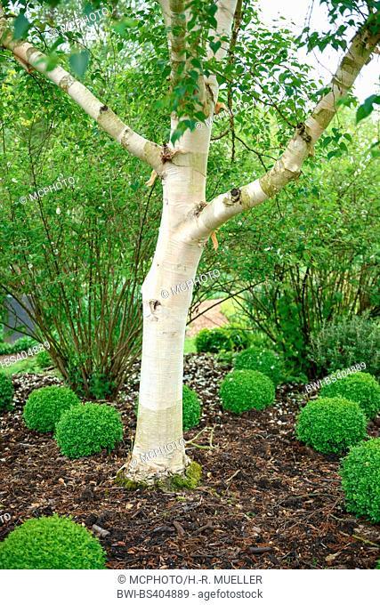 Erman's Birch, Russian Rock Birch (Betula ermanii 'Grayswood Hill', Betula ermanii Grayswood Hill), trunk of cultivar Grayswood Hill, United Kingdom
