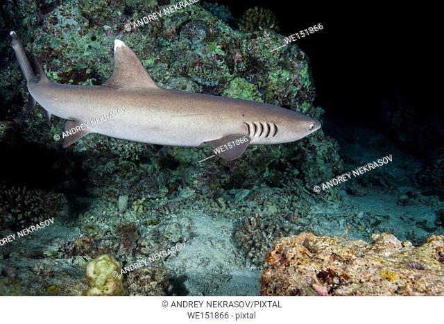 Whitetip reef shark (Triaenodon obesus) swim over coral reef in the night, Indian Ocean, Maldives