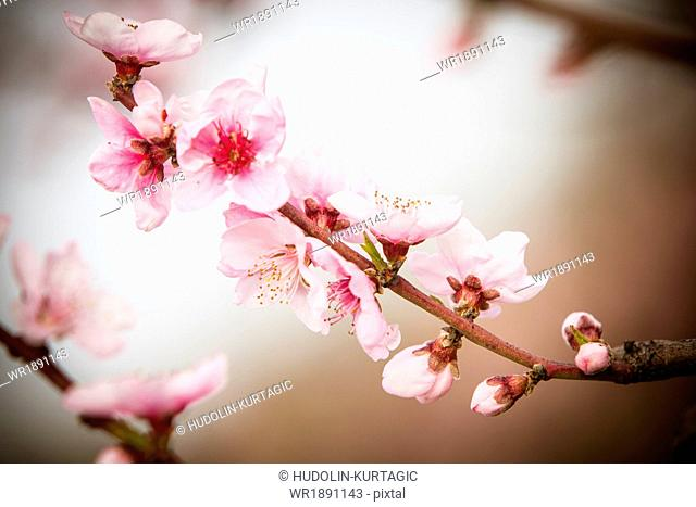 Branch with cherry blossoms, close-up, Austria
