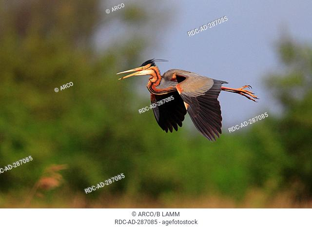 Purple Heron, Netherlands / Ardea purpurea