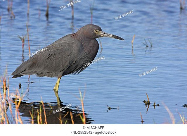 Close-up of Great Blue Heron Ardea herodias standing in water