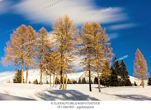 Trees, Altopiano of Asiago, Province of Vicenza, Veneto, Italy. Group Larch trees in winter