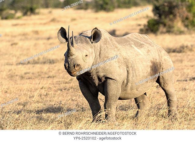 Black Rhinoceros (Diceros bicornis), Sweetwaters Game Reserve, Kenya