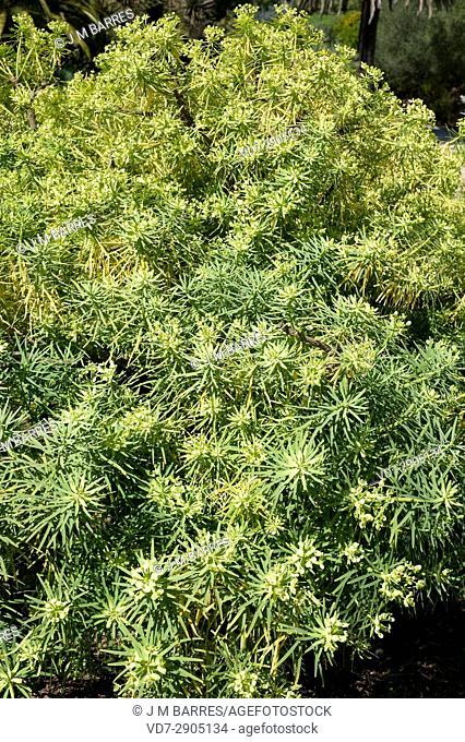 Tabaiba salvaje (Euphorbia regis-jubae) is a shrub endemic of Canary Islands and Morocco