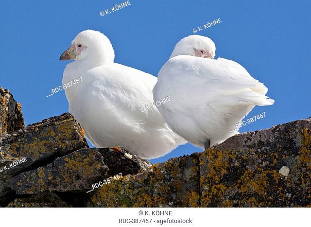 Snowy Sheathbill, Snowy Sheathbills, Half Moon Island, South Shetland Islands, Antarctica / (Chionis alba)