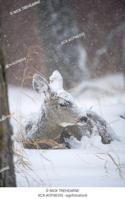 Odocoileus hemionus, mule deer, doe, female, Alberta, Canada